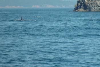 Pod of Whales DSC00030